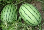 教你分辨西瓜的公母,保證挑到又好又甜又起沙的西瓜