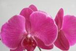 蝴蝶蘭花種植,記住這幾種方式,蝴蝶蘭長得很茂盛