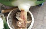 花草爛根怎麽辦?用大蒜水比多菌靈、生根劑藥更好使